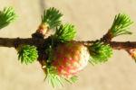 Japanische Laerche Baum Knospen gruen braun Larix kaempferi 02