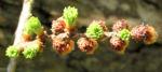 Japanische Laerche Baum Knospen gruen braun Larix kaempferi 13