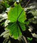 Japanische Wachsglocke Blatt gruen Kirengeshoma palmata 04