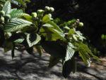 Japanische Wollmispel Blatt gruen Eriobotrya japonica 05