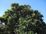 Japanische Wollmispel Blatt gruen Eriobotrya japonica 12