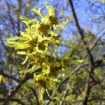 Bild:  Japanische Zaubernuss Blüte gelb Hamamelis japonica