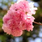 Japanische Zierkirsche Bluete rose Prunus serrulata 01