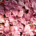 Japanische Zierkirsche Bluete rose Prunus serrulata 03