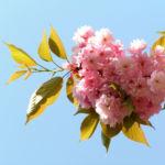 Japanische Zierkirsche Bluete rose Prunus serrulata 04