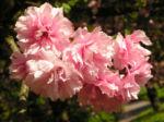 Japanische Zierkirsche Bluete rose Prunus serrulata 05