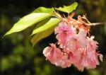 Japanische Zierkirsche Bluete rose Prunus serrulata 07