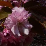 Japanische Zierkirsche rosa Bluete Prunus serrulata 02