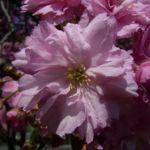 Japanische Zierkirsche rosa Bluete Prunus serrulata 03