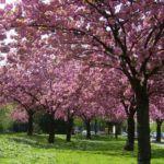 Japanische Zierkirsche rosa Bluete Prunus serrulata 06