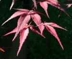 Japanischer Ahorn Baum Blatt rot Acer japonicum 01