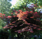 Japanischer Ahorn Baum Blatt rot Acer japonicum 03