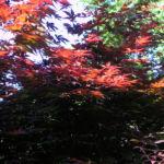 Japanischer Ahorn Baum Blatt rot Acer japonicum 05