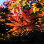 Japanischer Ahorn Baum Blatt rot Acer japonicum 07