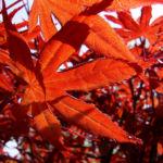 Japanischer Ahorn Baum Blatt rot Acer palmatum 03