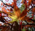 Japanischer Ahorn Baum Blatt rot Acer palmatum 05