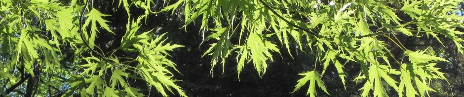 japanischer-ahorn-rinde-braun-blatt-gruen-acer-palmatum
