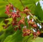 Japanischer Ahorn Knospe Blatt rot gruen Acer japonicum 01