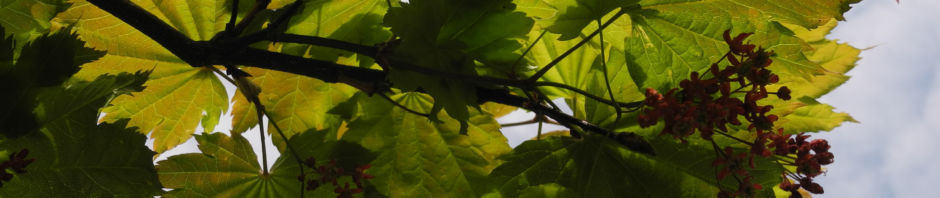 japanischer-ahorn-knospe-blatt-rot-gruen-acer-japonicum
