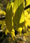 Japanischer Blauregen blatt gruen Wisteria floribunda 15