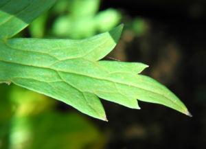 Japanischer Eisenhut Blatt gruen Aconitum japonicum 01