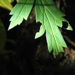 Japanischer Eisenhut Blatt gruen Aconitum japonicum 02