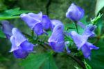 Japanischer Eisenhut Bluete blau Aconitum japonicum 04