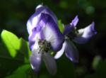 Japanischer Eisenhut Bluete blau Aconitum japonicum 10