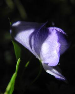 Japanischer Eisenhut Bluete blau Aconitum japonicum 11