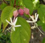 Japanischer Losbaum Bluete pink Clerodendrum trichotomum 02