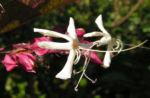 Japanischer Losbaum Bluete weiss pink Clerodendrum trichotomum 02