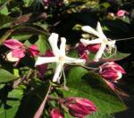 Japanischer Losbaum Bluete weiss pink Clerodendrum trichotomum 04