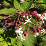 Japanischer Losbaum Bluete weiss pink Clerodendrum trichotomum 05