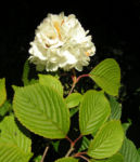 Japanischer Schneeball Bluete weiss Viburnum plicatum 01