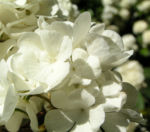 Japanischer Schneeball Bluete weiss Viburnum plicatum 03