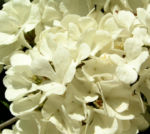 Japanischer Schneeball Bluete weiss Viburnum plicatum 07