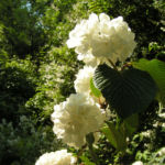 Japanischer Schneeball Bluete weiss Viburnum plicatum 09