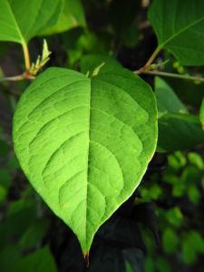 japanischer staudenknoeterich blatt gruen fallopia japonica 01