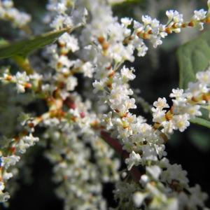 japanischer staudenknoeterich bluete weiß fallopia japonica 09