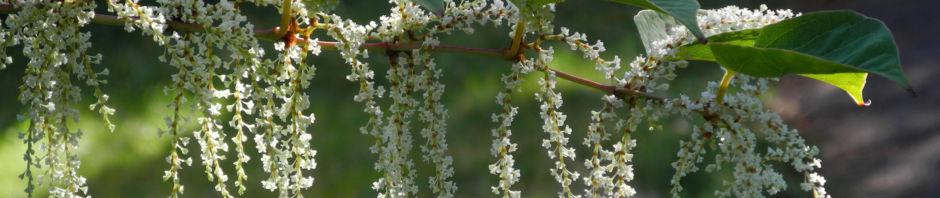 japanischer-staudenknoeterich-fallopia-japonica