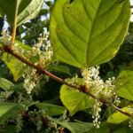 Japanischer Staudenknoeterich Reynoutria japonica 04