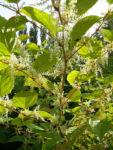 Japanischer Staudenknoeterich Reynoutria japonica 09