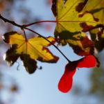 Japanischer Zier Ahorn Frucht rot Acer palmatum 06