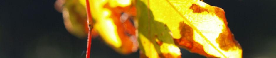 faecher-ahorn-frucht-rot-acer-palmatum