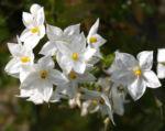 Jasminbluetiger Nachtschatten Bluete weiss Solanum jasminoides 06