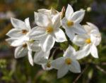 Jasminbluetiger Nachtschatten Bluete weiss Solanum jasminoides 07