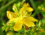 Johanniskraut Bluete gelb Hypericum perforatum 01