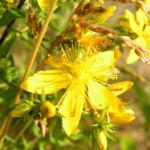Johanniskraut Bluete gelb Hypericum perforatum 02