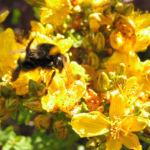 Johanniskraut Bluete gelb Hypericum perforatum 04