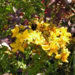 Johanniskraut Bluete gelb Hypericum perforatum 06